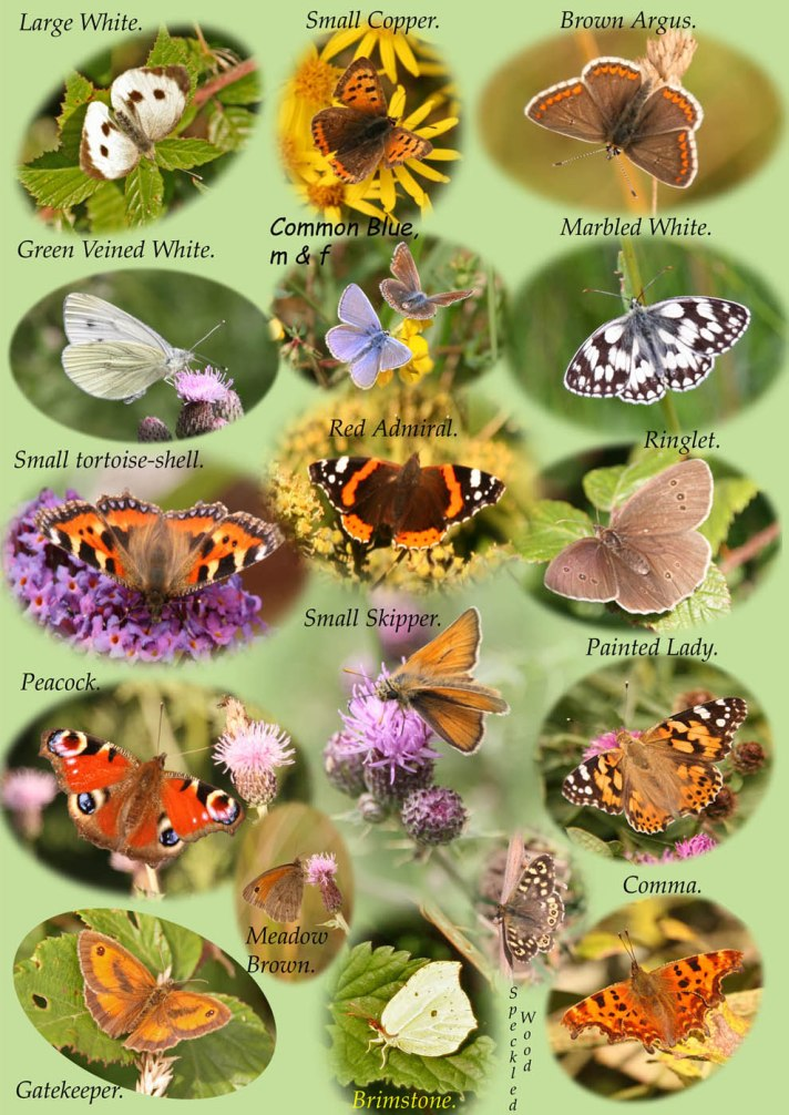 Butterfly ID chart (a)